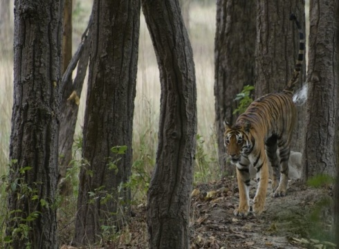 A grown up female tiger, Kanha National Park. Photo courtesy - Amit Panariya
