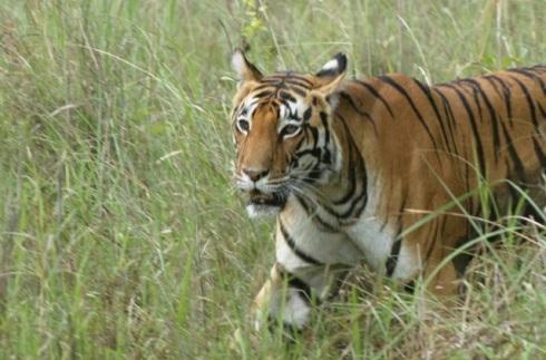 Close up of the female tiger, Kanha National Park. Photo courtesy - Amit Panariya